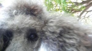 Never leave a poodle alone with your cell phone